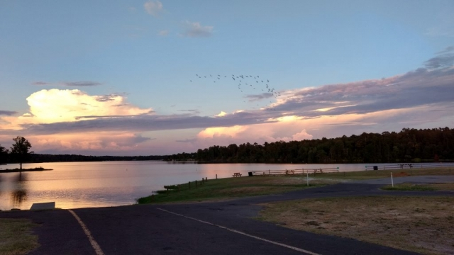 Cattle egrets over Lake Hawkins